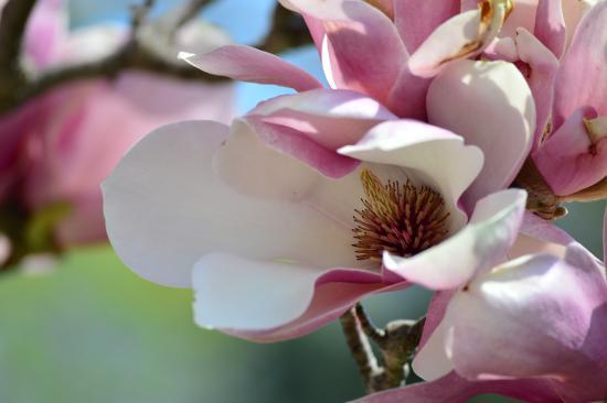 Magnolia Tree In Jackson Park Picture Of Jackson Park Windsor