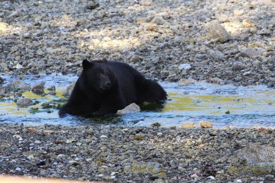 Port Alberni, Kanada: Bear on the beach