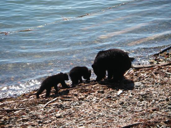 Port Alberni, Canadá: Family of bears on the beach