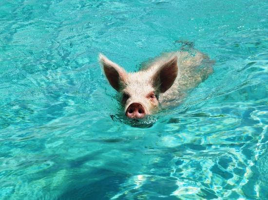 Coral Gardens: Pig Beach