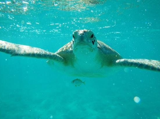 Coral Gardens: Local turtles at Hoopers Bay