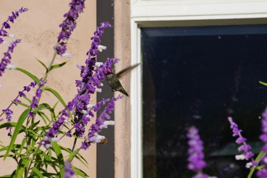 Резерфорд, Калифорния: hummingbird's paradise