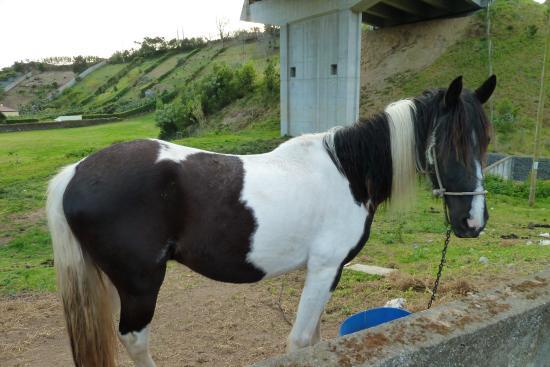 Agua de Pau, Portugal: Ein Highlight der Wanderung.Das Pferd beobachtete Kühe.