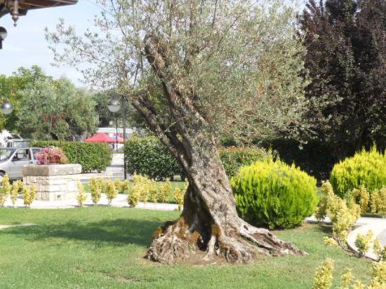 Un ulivo secolare nel giardino picture of villa d for Aiuola con ulivo
