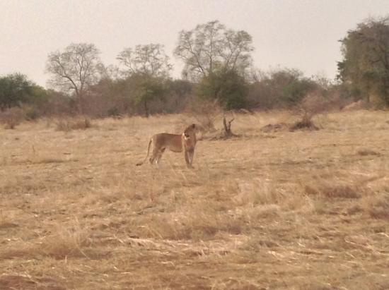 Ciad: A young lion in Zakouma