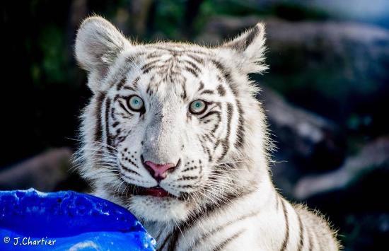 Exceptionnel Jaïpur, notre bébé tigre blanc - Picture of Parc Zoologique d  BY14