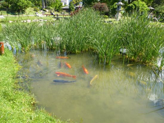 Estanque de carpas fotograf a de jardin japones buenos for Estanque para carpas
