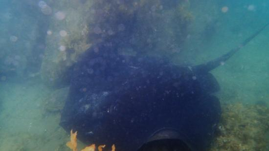 Sea Kayak Adventures - Day Tours: Eagle Ray in the shallows