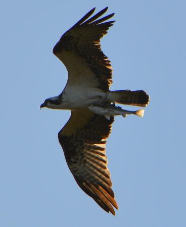 Ruskin, FL: osprey with a fish