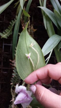 Ecuagenera - Orchids from Ecuador: One of the tiniest orchids much smaller than its leaf