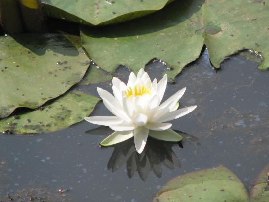 Lotus Blossoms Picture Of Kenilworth Park And Aquatic Gardens Washington Dc Tripadvisor
