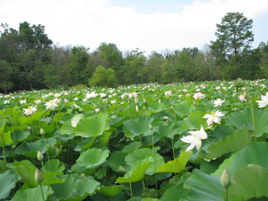 Pink Lotus Picture Of Kenilworth Park And Aquatic Gardens Washington Dc Tripadvisor