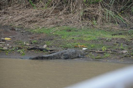Panama Canal Partial Transit Tour: The Panama Canal hosts big crocodiles too.