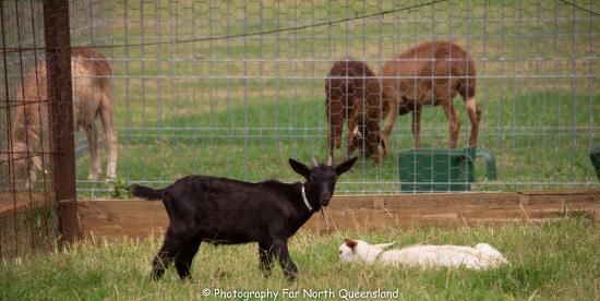 Malanda Falls Caravan Park: Animal farm
