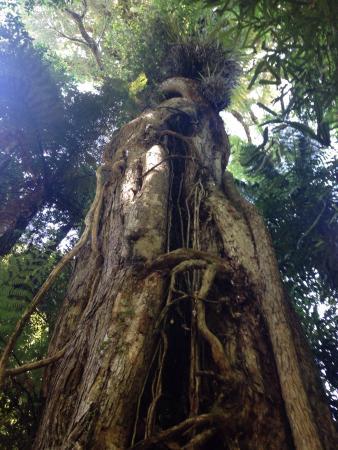 Mangakino, Νέα Ζηλανδία: Giant rata tree