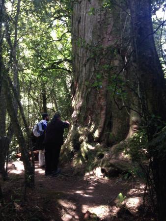Mangakino, Νέα Ζηλανδία: Giant tree