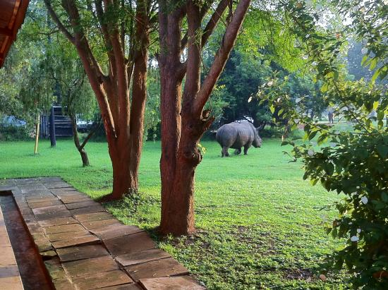 Ziwa Rhino and Wildlife Ranch: grazing right outside our room