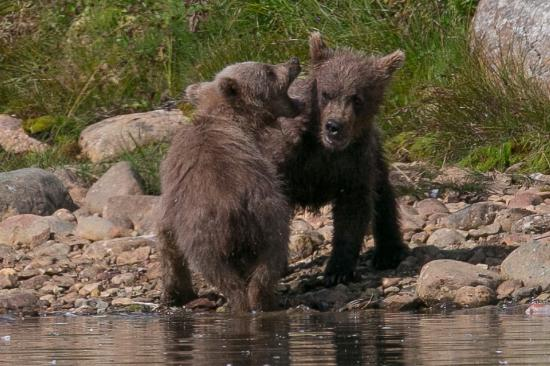 China Poot Bay, AK: Cubs At Play at Katmai National Park