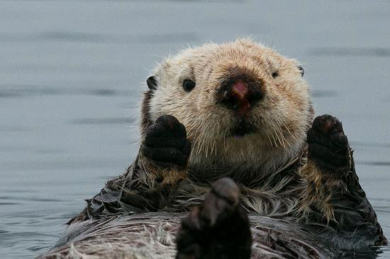 China Poot Bay, AK: Resident Sea Otter