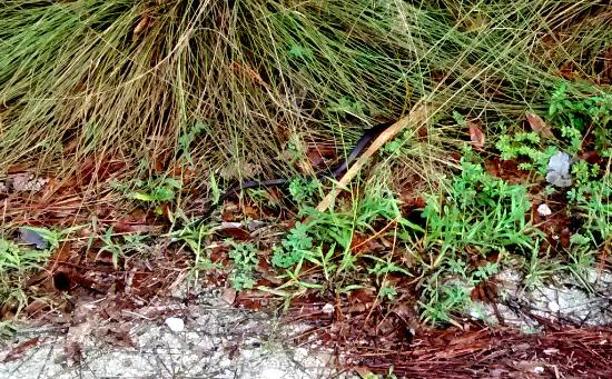 Jupiter, FL: a lot of snakes there