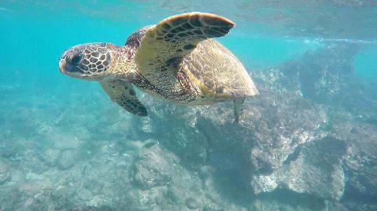 Ka'anapali Beach : Turtle flyby