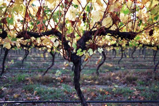 Lilydale, Australia: Our vineyard in Autumn