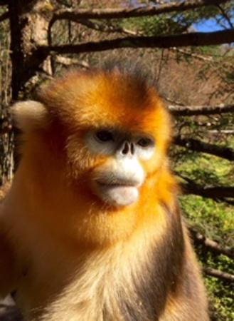 Shennongjia, China: Golden Snub-nosed Monkey