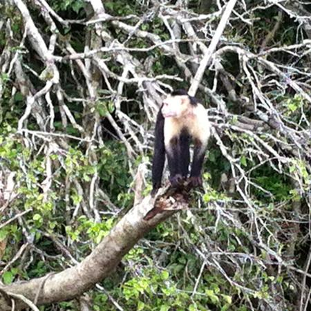 Gamboa Rainforest Resort Chagres River Boat Tour: One of the monkeys you may see