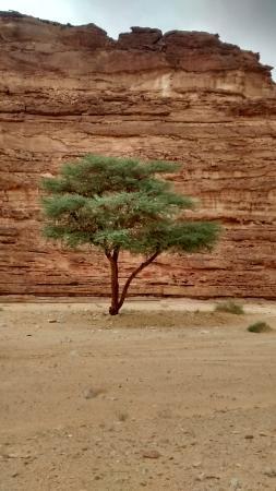 Sinai Safari - Day Tours: Acacia tree outside our camping spot