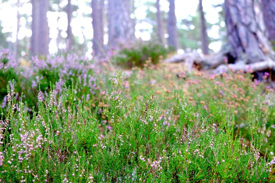 Эвимор, UK: Autumn flowers in Rothiemurchus forest