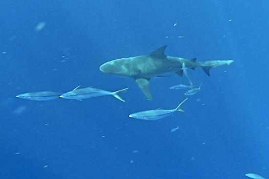 Jupiter, Floryda: large bull shark