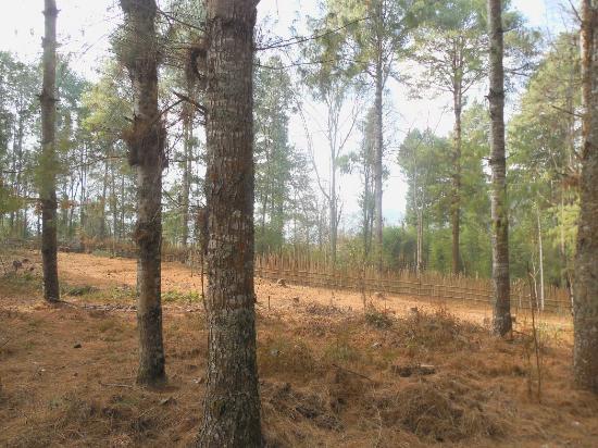 Ziro, India: Pine Grove