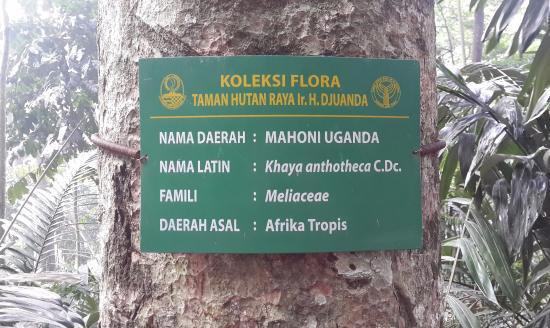 Forest Park Conservation Area Tahura Ir H Juanda Mahoni Uganda