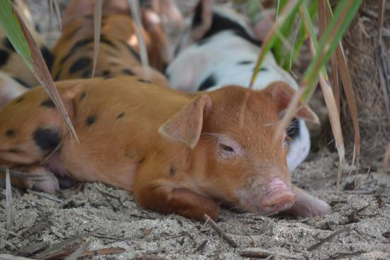 baby pigs december 2015 pig island picture of staniel cay out