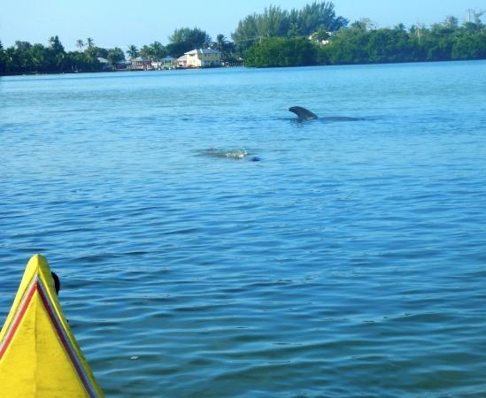 Castaways Cottages of Sanibel: Family of dolphins feeding near my room
