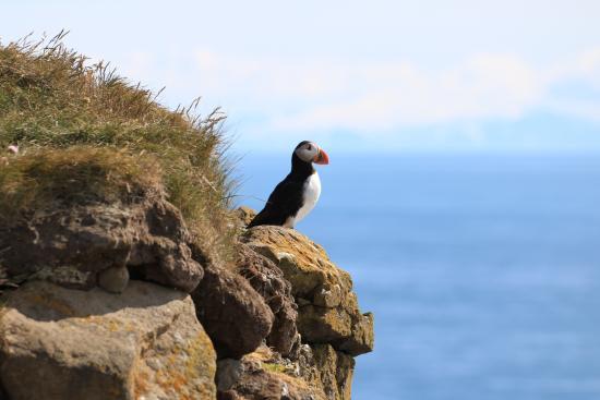 Latrabjarg, Island: Papegaaiduiker