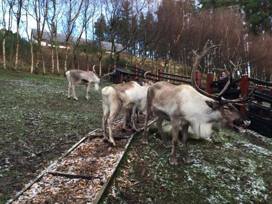 Cairngorm Reindeer Herd: photo0.jpg
