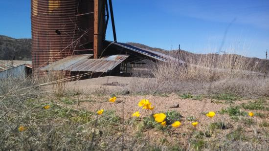 Nogales, AZ: sweet yellow wildflowers