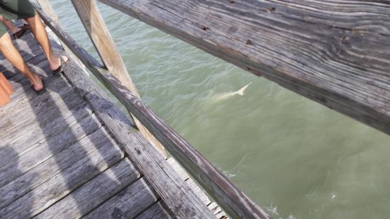 Redington Shores, Φλόριντα: Black-Tip Shark