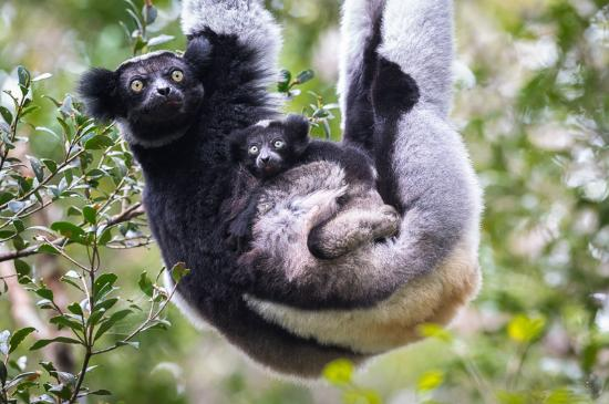 Andasibe-Mantadia National Park  (Reserve of Perinet): Indr-Indri and Baby
