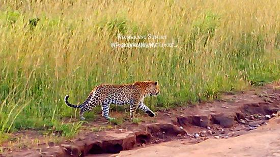 Sekenani Camp: leopard
