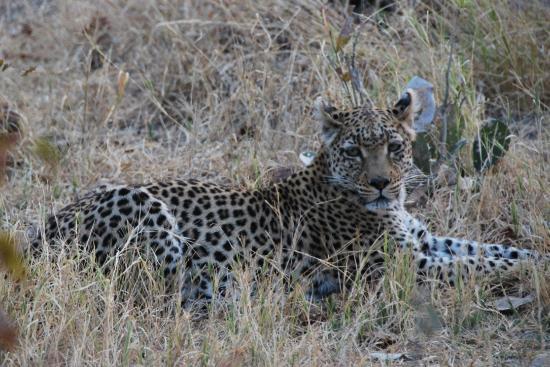 Manyeleti Game Reserve, جنوب أفريقيا: Leopard