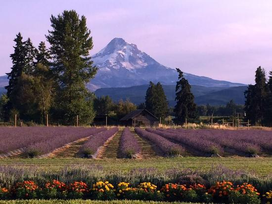 Hood River, OR: The views of the mountains and the Columbia Gorge from Lavender Valley are spectacular.