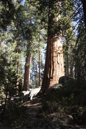 Three Rivers, Kalifornien: Им 2000 лет!!!