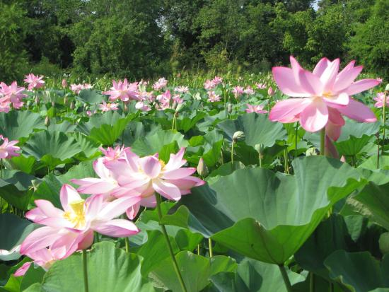 Lotus pond picture of kenilworth park and aquatic - Kenilworth park and aquatic gardens ...