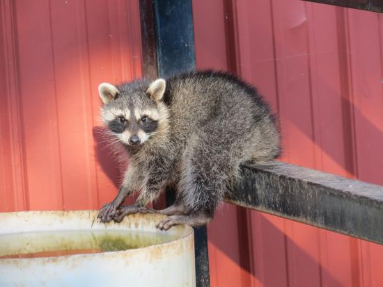 Ray Roberts Lake State Park: Caught You, Raccoon!