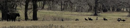 Ray Roberts Lake State Park : Vultures Stalking a Newborn Calf (in grass)