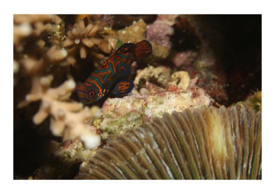 Pintuyan, Filippinene: Mandarinfisch