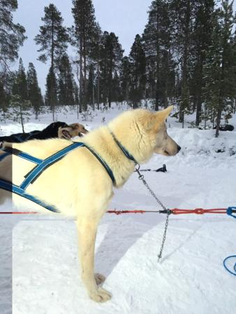 Ivalo, Finland: The dogs love their job people, freindly owners that really care for then