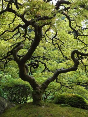 Portland Japanese Garden: Japanese Maple